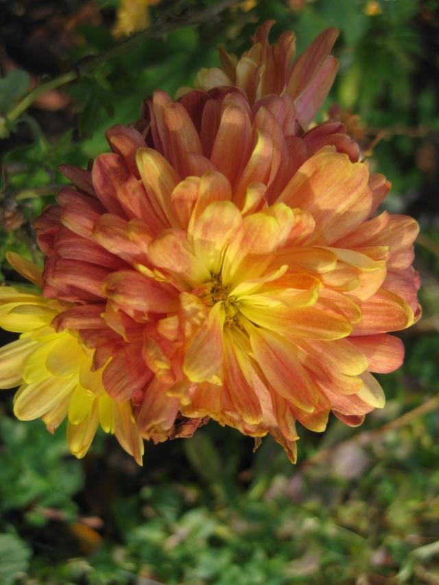 Chrysanthemum 'Chelsea Physic'
