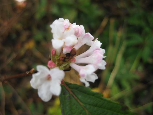 Viburnum bodantense