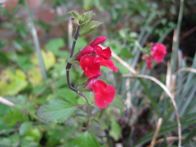 Salvia microphylla var neurepia