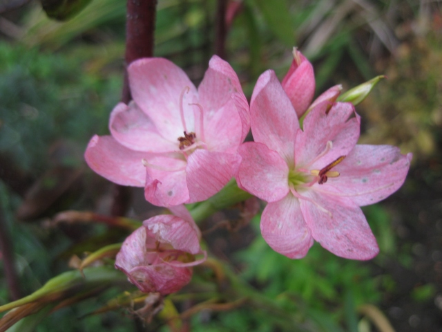 hesperantha coccinea 'Fenland Daybreak'