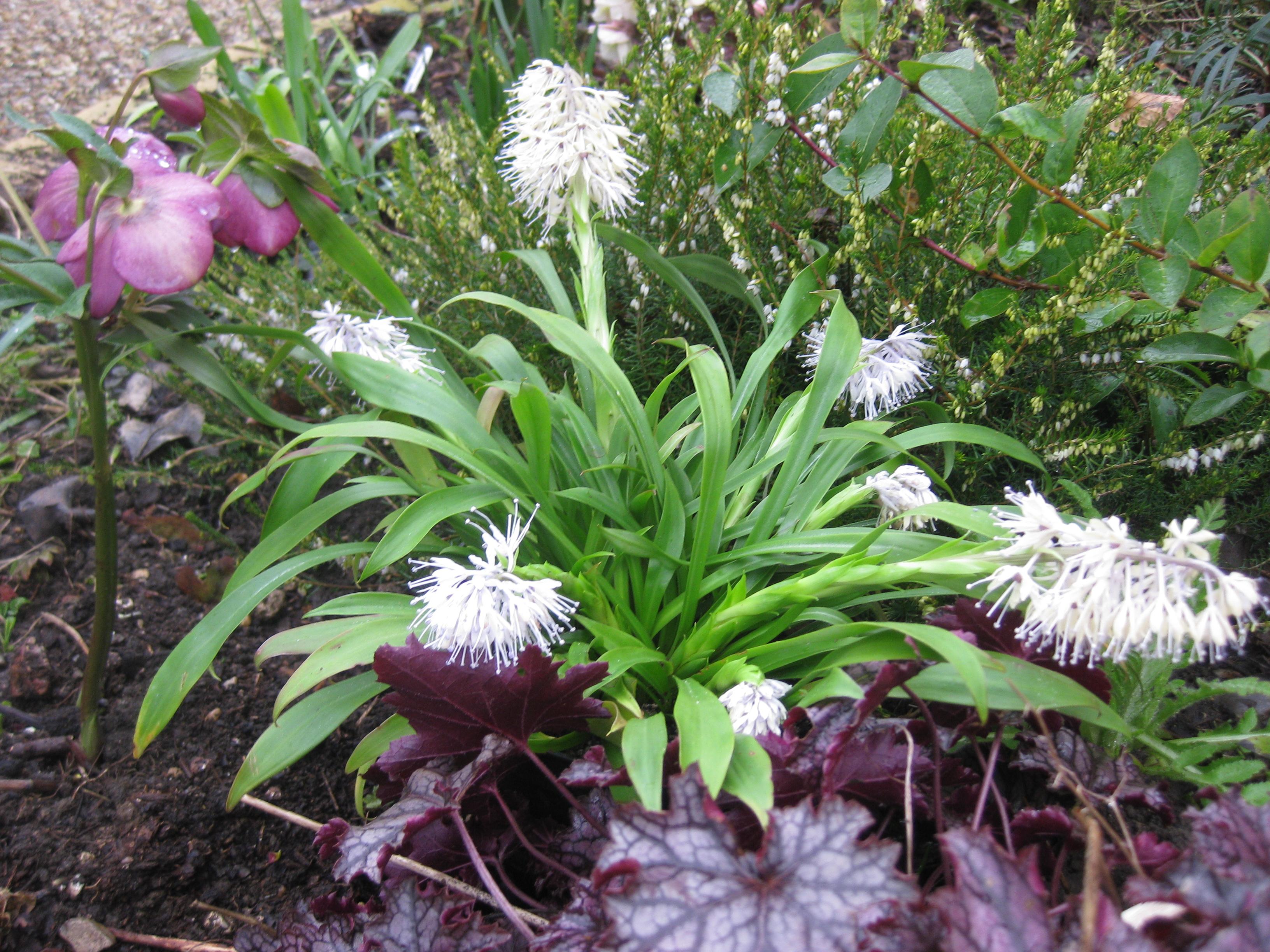 Ypsilandra Thibetica The Blooming Garden