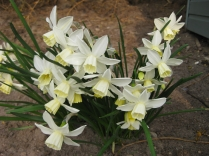 Narcissus Silver Chimes