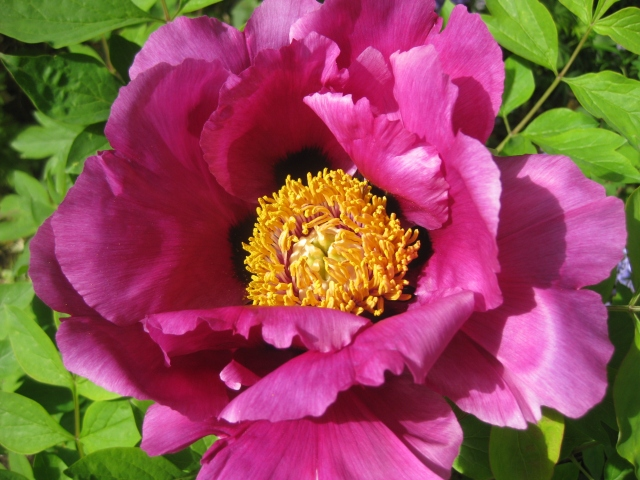 paeonia suffruticosa ssp rockii the blooming garden. Black Bedroom Furniture Sets. Home Design Ideas