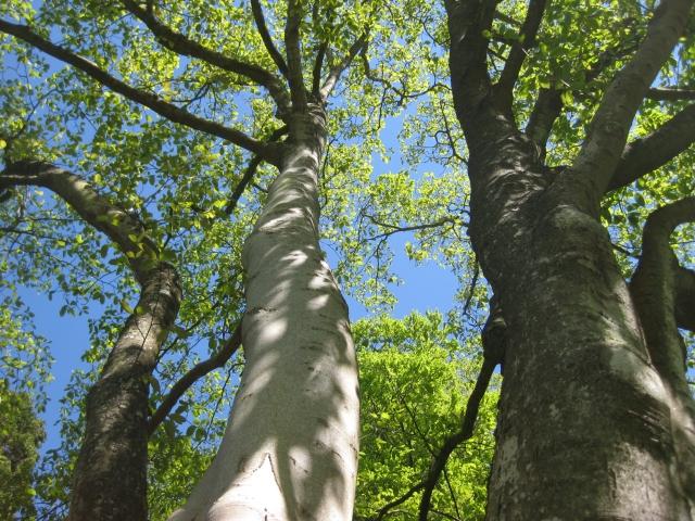 Magnolia x veitchii 'Peter Veitch'