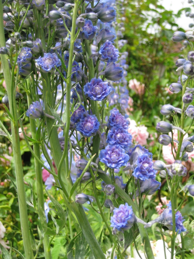 Delphinium elatum 'Alice Artindale'