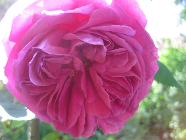 Rosa 'Mme. Isaac Periere'
