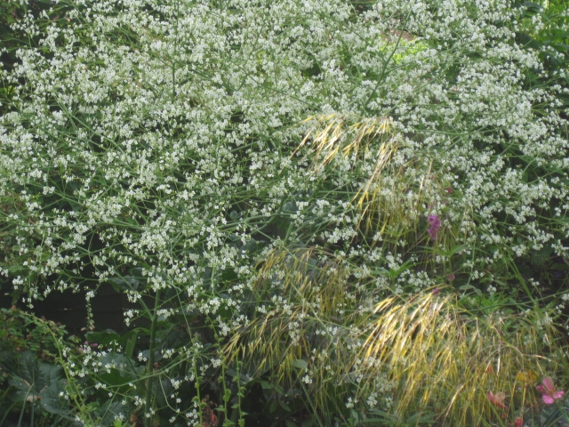Crambe cordifolia with Stipa gigantea