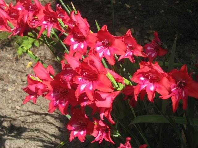 Gladiolus robinetta