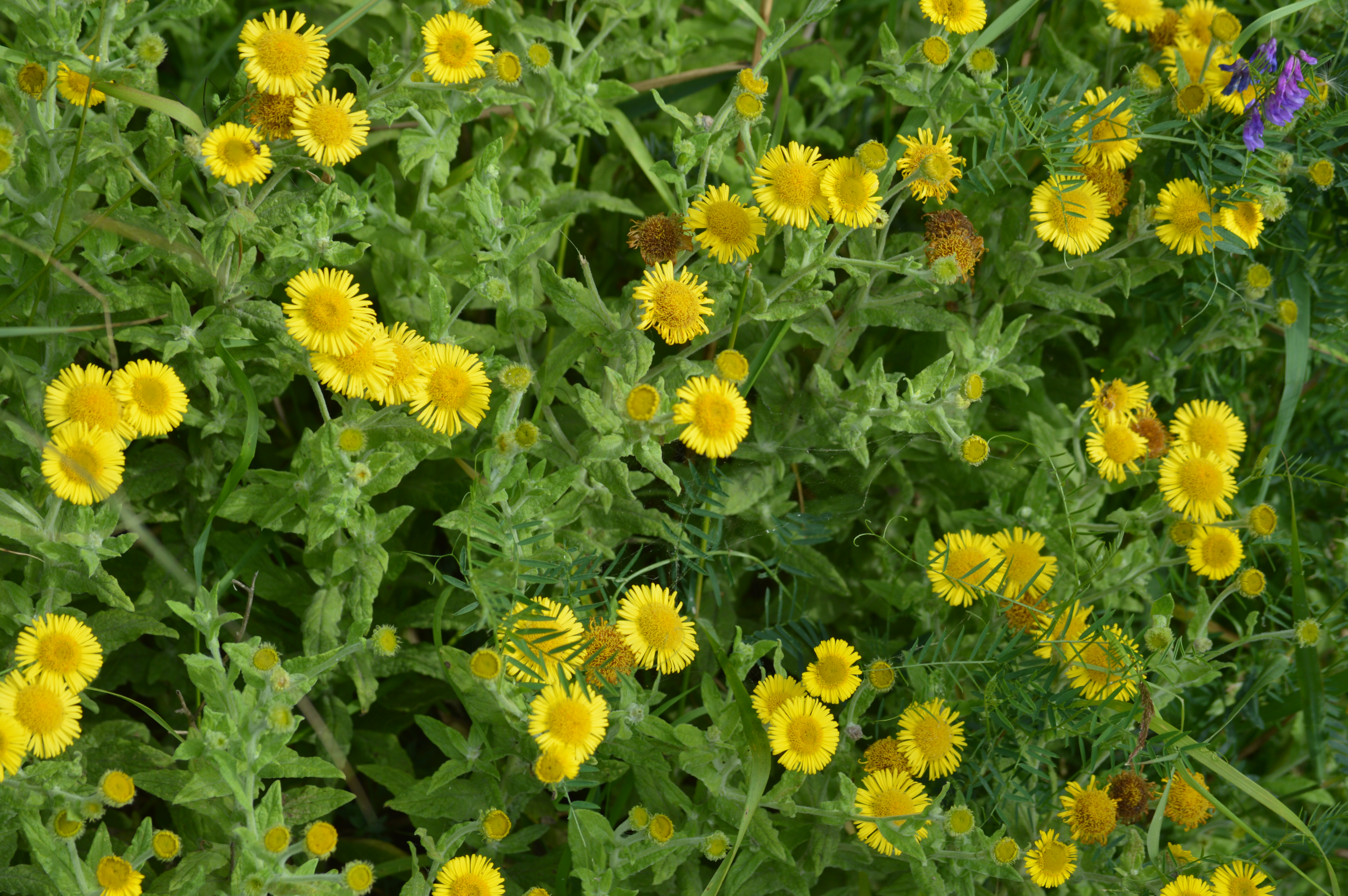 Minsmere the blooming garden pulicaria dysenterica or fleabane was used as its name suggests to keep fleas away i love its little yellow daisy flowers mightylinksfo