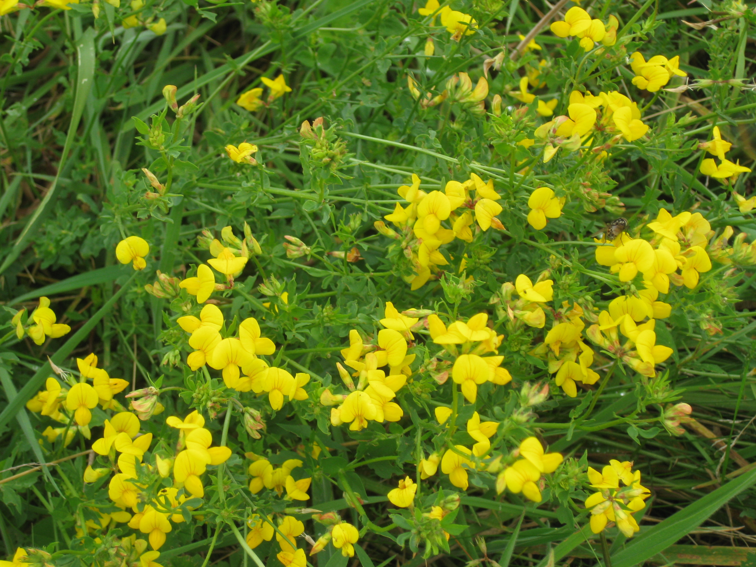 Wildflower wednesday august 2014 the blooming garden i love the frothy yellow flowers of galium verum ladys bedstraw which grows here too it gets its name from the fact that it used to be used as a mightylinksfo