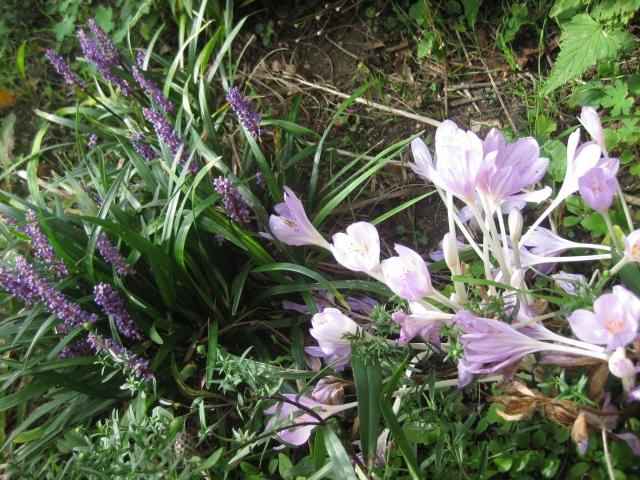Colchicum autumnale with Liriope.