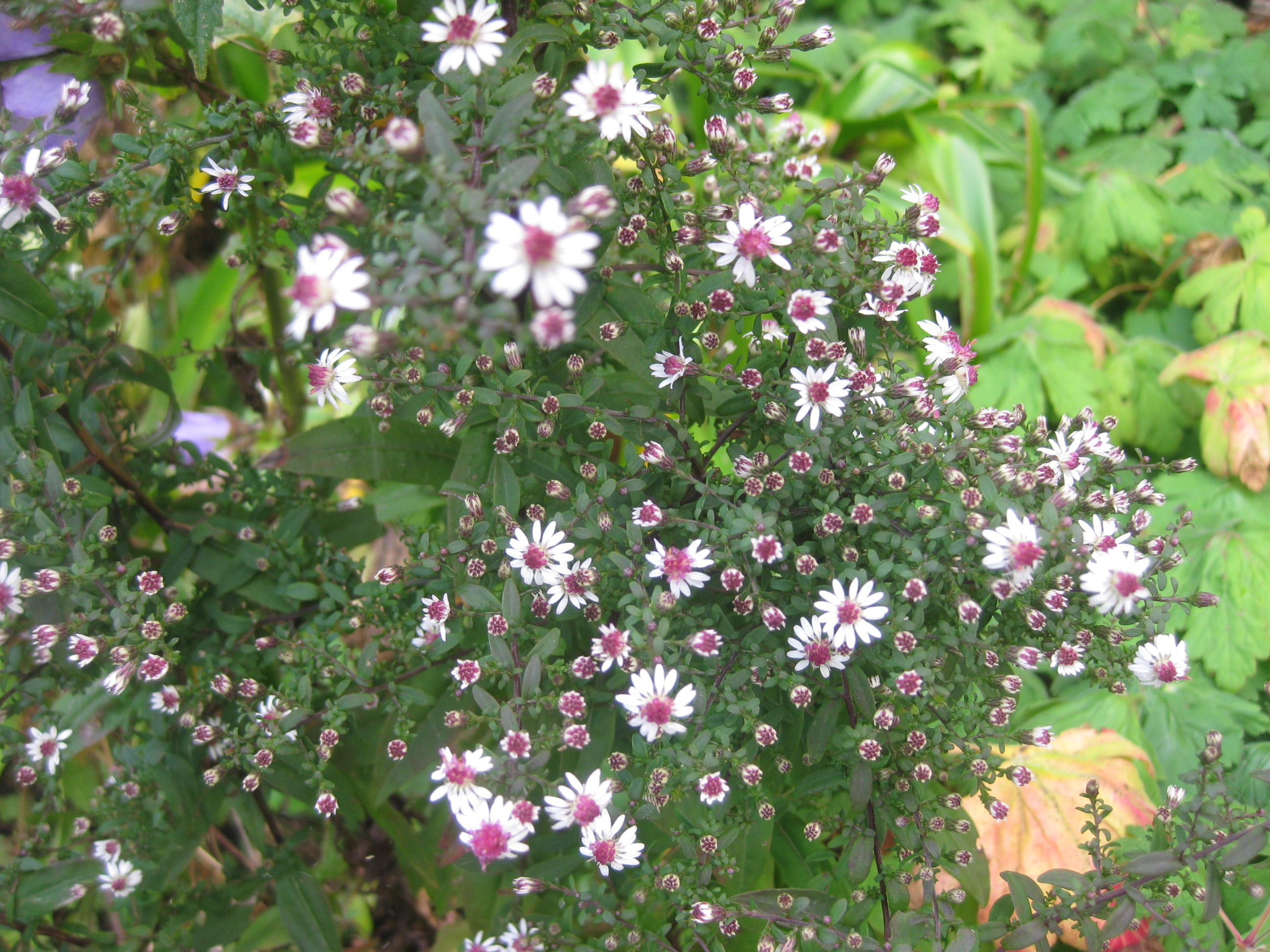 My top ten michaelmas daisies or if you insist symphiotrichum i have recently bought another aster with really dark foliage called glow in the dark but i wont include it in my top ten because it is not in flower izmirmasajfo