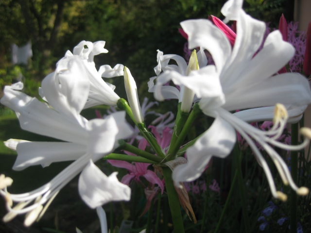 Nerine bowdenii 'Alba'.