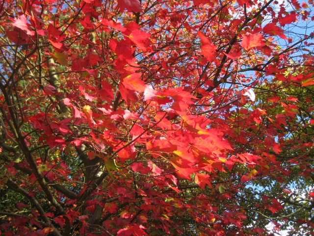 Acer rubrum ' Scanlon'