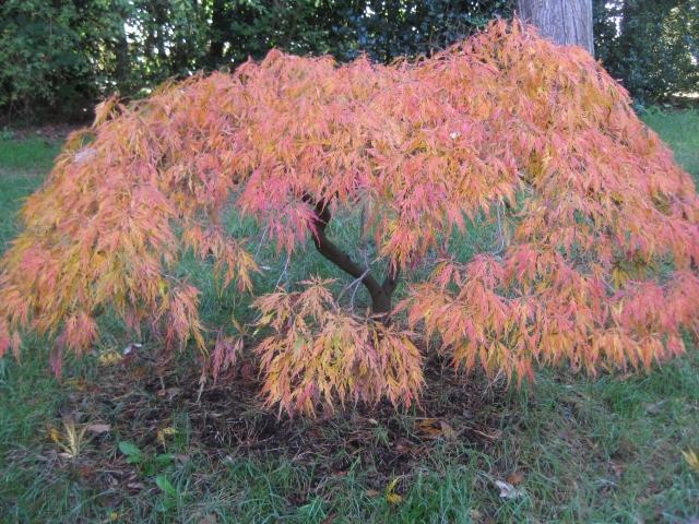 Acer var. dissectum 'Viridis'.