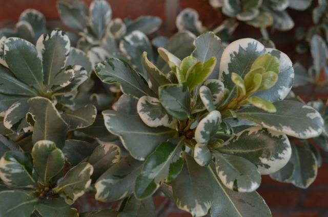 Pittospermum tobira 'Varieagatum'
