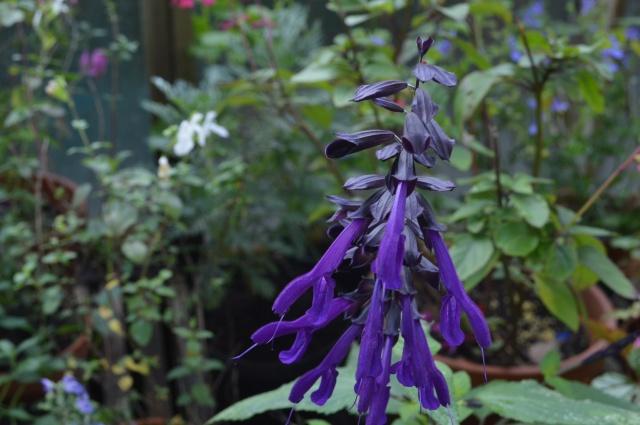 Salvia guarantica 'purple majesty'
