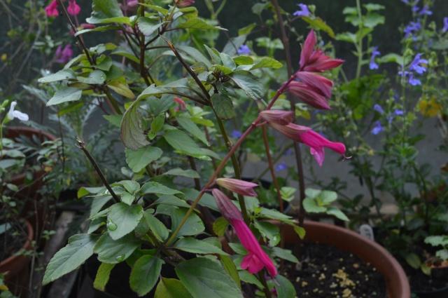 Salvia 'wendy's Wish'