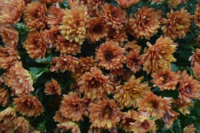 Chrysanthemum 'Marjolein Brown'