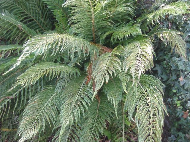 Polystichum setiferum 'Puclcherrimum Bevis'