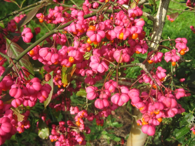 Euonymus europaeus 'Thornhayes'