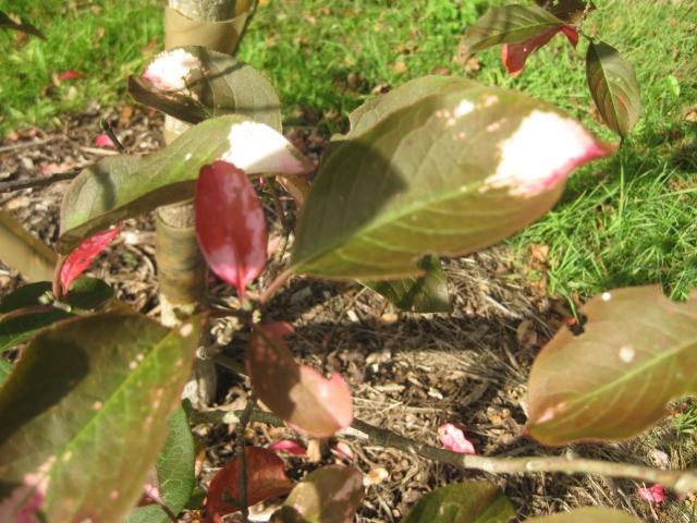 Euonymus hamiltonianus 'Fiesta'