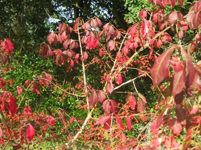 Euonymus alatus 'Timber Creek'