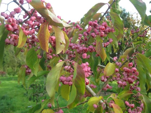 Euonymus hamiltonianus 'Miss Pinkie'