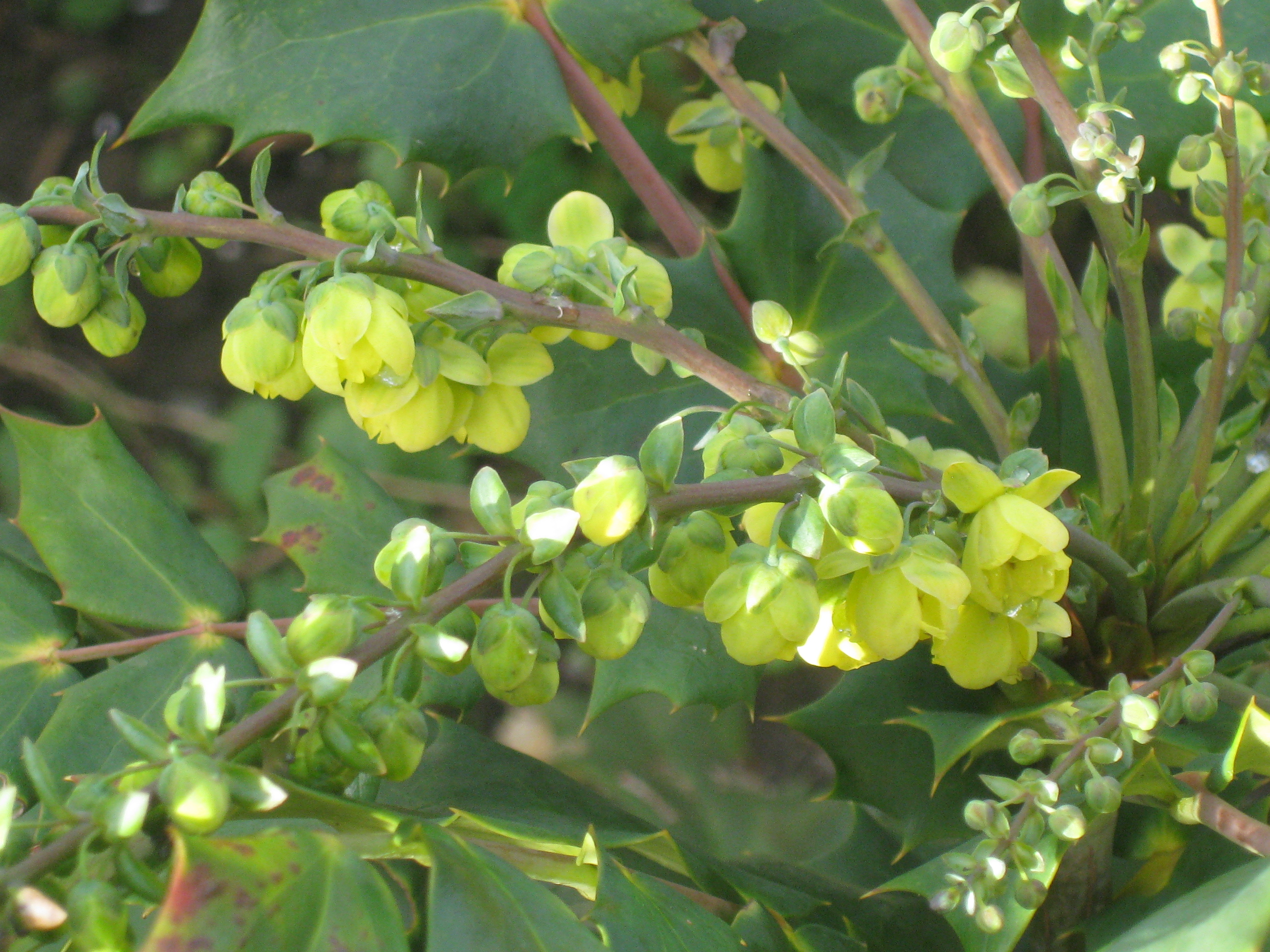 Seasonal treasures for Mahonia japonica