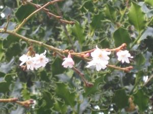 Prunus x subhirtella 'Autumnalis Rosea'