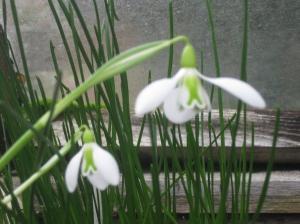 Galanthus 'Little John'