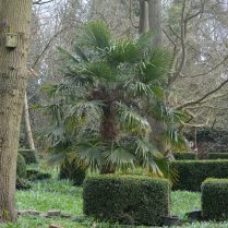 Walled garden, Chusan Palm