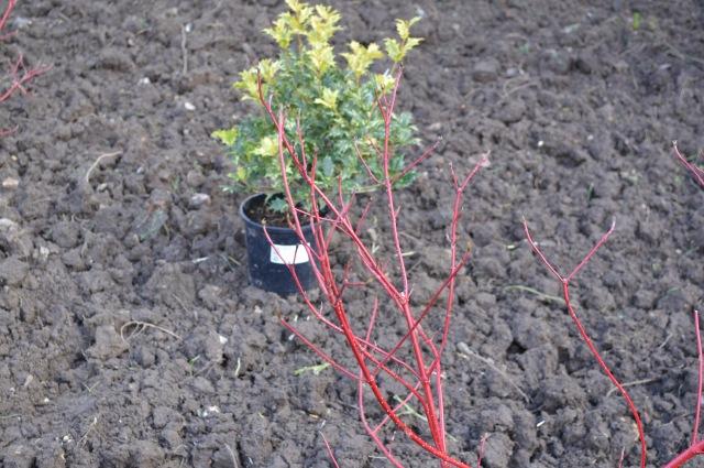 Cornus alba 'Siberica' and Osmanthus heterophyllus 'Goshiki'