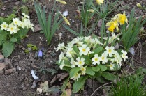 Narcissus pseudonarcissus with primroses