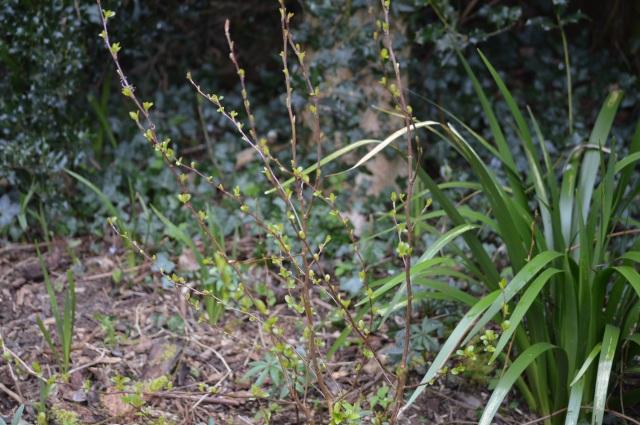 Malus transitoria seedling