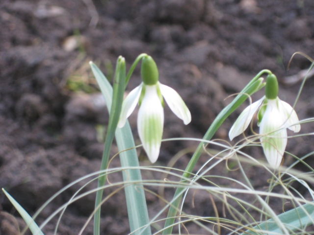 Galanthus nivalis 'Greenish'