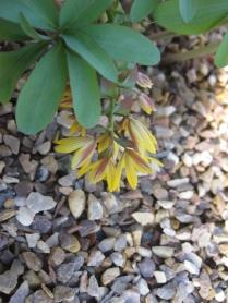 Gymnospermum allenii
