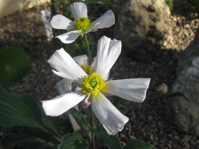 Ranunculus calandriniodes
