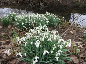 Galanthus nivalis in a Suffolk wood