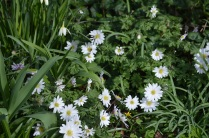 Anemone blanda 'White splendour' and Narcissus 'Thalia'