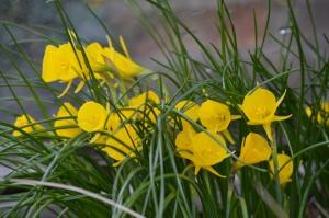 Narcissus bulbocodicum