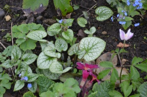 Brunnera macrophylla 'Jack Frost' seedlings