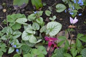 Brunnera macrophylla 'Jack Frost' seedlings