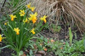 Narcissus cyclamineus 'Jetfire'