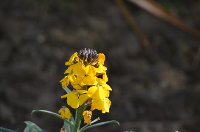 Erysimum 'Walburton's Fragrant Sunshine'