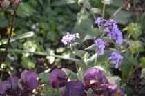 Lunaria annua 'Corfu Blue'