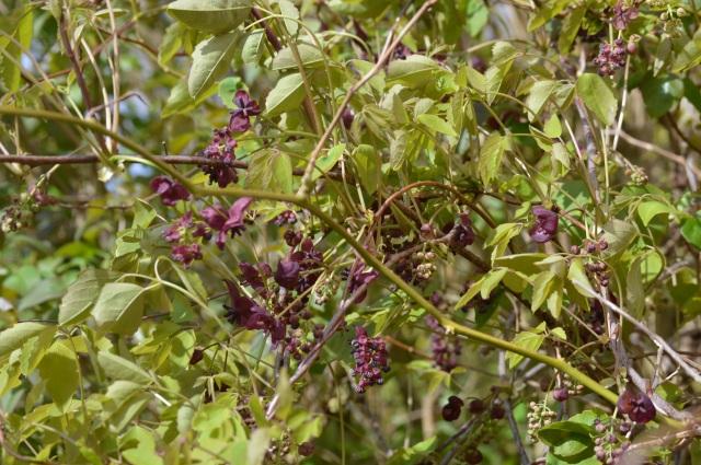 Akebia x pentaphylla