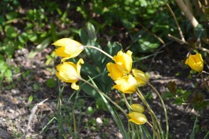 Tulipa sylvestis
