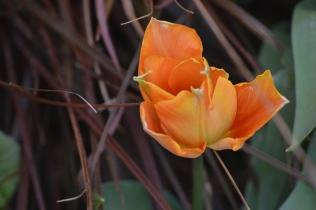 Tulipa 'Orange