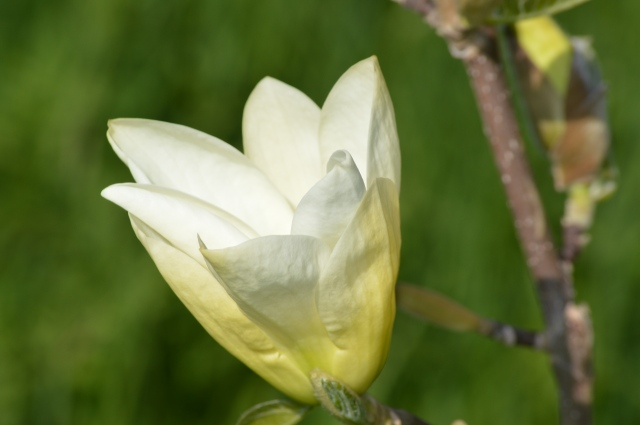 Magnolia 'Elizabeth'